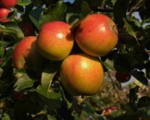Holsteiner Cox var oprindeligt et gult æble med rød kind, som ses her. Vi dyrker også en helt rød klon. Begge udgaver smager dejligt.