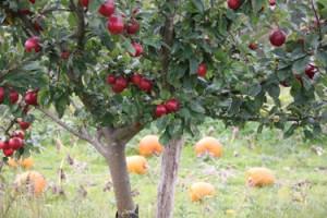 Her vokser græskarrene mellem æbletræer. Æblerne er til cider og hedder Tremletts Bitter.